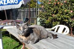 One thing about Josie... (Matilda&Charlie&Josie ~ MCJ) Tags: cat josie rescuecat 9yo greybluecreamtortoiseshell