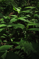 plants (Molly Des Jardin) Tags: park light shadow plants usa sunlight green leaves forest state pennsylvania sunny ferns dappled 2014 undergrowth ferny susquehannock drumore 43215mm