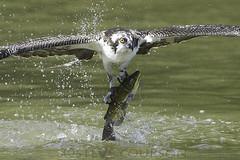 osprey and catfish (Steve Courson) Tags: catfish osprey catchingfish stevecourson