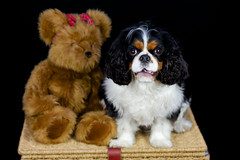 Cavalier King Charles (Clare's Imagery) Tags: dog animal king fluffy charles cavalier