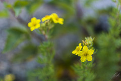 Anemone ranunculoides (Alothan) Tags: plant ontario canada flower yellow petal thunderbay currentriver tbay tepal