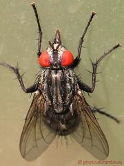 Sarcophaga sp.  Echte Fleischfliege (photo.durantis.eu Bernd Ackermann) Tags: sp echte fliege sarcophaga  cvennes cevennen fleischfliege durantis photodurantiseu