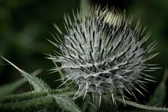 Sticky (Fraila) Tags: flower macro green nature up nikon close sticky d600