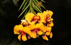 Dillwynnia species (Jenny Thynne) Tags: fabaceae flower plant australiannativeplant wildflower basketswamp nsw australia dillwynia