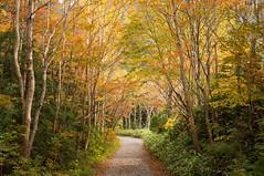 Erman's Birch (bamboo_sasa) Tags: autumn leaves japan pond 日本 紅葉 秋 nagano shigakogen shinshu 長野 志賀高原 信州 ダケカンバ 大沼池 onumaike