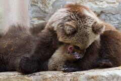 A brincadeira (miza monteiro) Tags: zoo lisboa lisbon lisbonne ursos zoologico mamifero jardimzoologico