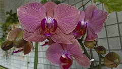 Pintadinha 02 (Parchen) Tags: flores flor rosa phalaenopsis ornamental orqudeas pintada vaso cacho orqudea varanda hbrida pintadinha parchen carlosparchen phalaenopsishbridarosa phalaenopsisrosapintada