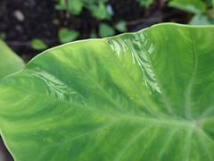 Taro (Colocasia esculenta): Dasheen mosaic (Scot Nelson) Tags: taro colocasiaesculenta colocasia feathering dasheen dasheenmosaicvirus dasheenmosaic