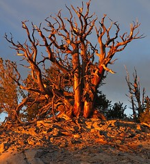 Dawn ll (Bregalis) Tags: trees usa tree pine sunrise nevada