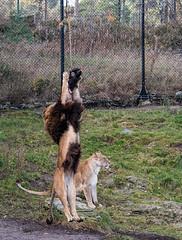 Jump - 3 (Gjesdal.org) Tags: detail norway zoo norge nikon no clarity sigma os apo dg kristiansand topaz dyrepark dyreparken hsm denoise d810 dyreparkenikristiansand vestagder f563 150500mm topazdenoise sigma150500mmf563apodgoshsm topazdetail topazclarity