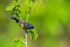 Get your greens (Khurram Khan...) Tags: ilovenature wildlife songbirds warblers americanredstart wildlifephotography ilovewildlife iamnikon khurramk khurramkhan