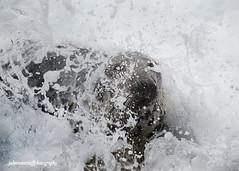 Grey Seals, Shetland, 2015 (Crieffy.) Tags: grey nikon seal shetland d800e