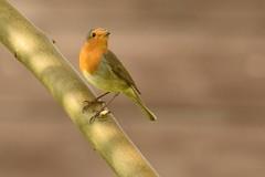 _DSC3693 Roodborst : Rouge-gorge familier : Erithacus rubecula : Rotkehlchen : European Robin