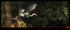 Tchao ...je me tire ailleurs ! (mamnic47 - Over 11 millions views.Thks!) Tags: paris automne vol oiseaux couleursdautomne boisdeboulogne envol héroncendré img6528 paris16ème maresaintjames lacsaintjames 15112015