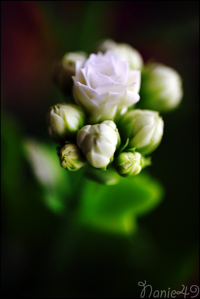 The World S Best Photos Of Fleur And Kalanchoe Flickr Hive Mind