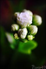 Kalanchoe1. (nanie49) Tags: france flower fleur nikon flor d750 花 blume kalanchoe fiore francia angers زهرة 150mm цветок flamingkaty פרוח nanie49