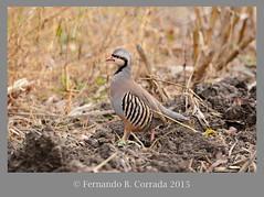 Chuckar (2111) (fbc57) Tags: birds vermont addison quail partridges phasianidae chukar alectorischukar galliformes nikond800 sigma150600f563dgoshsmsport deadcreeknwr