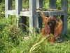 Big male orangutan walking on hind legs, as trained to during life in circus (Animal People Forum) Tags: rescue project indonesia wildlife palm borneo oil orangutan ape primate greatape rehabilitation palmoil wildliferehabilitation samboja lestari