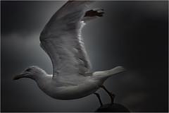 Seagull_003 (cees van gastel) Tags: seagulls birds vogels natuur vliegen zeemeeuwen ceesvangastel canoneos40d