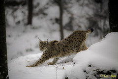 Lynx in the winter snow forest (www.danbos.it) Tags: winter snow art heritage nature animals forest feline wildlife conservation bigcat neve felini mammals fungame foresta photooftheday naturephotography lince lynz wildlifeart wildlifephotography animalphoto mammels natureimages mammiferi wildlifephoto rarestcat buzzfeedanimals animalmaster