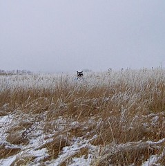 Peekaboo ~ Pep'aboo (Pep's Hiking Team) Tags: winter dog snow field schnauzer traildog wildernessdogs
