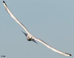 Beautiful shearwater... (Inian4mIndia) Tags: shearwater bird beautiful fly flight outside outdoor nikon ngc