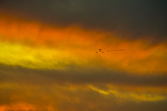 Geese in Sunset (thefisch1) Tags: sunset geese goose flying interesting colorful flight wing winged cloud sky movement kansas nikon canada