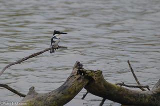 Lifer Green Kingfisher [Explored]