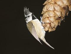 Crested Tit (J J McHale) Tags: crestedtit lophophanescristatus bird scotland nature wildlife