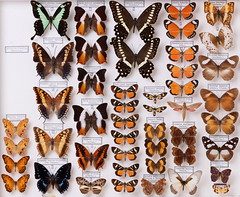 Lepidoptera mixed (insects@nmbe) Tags: nmbe0870 lepidoptera papilionidae nymphalidae geometridae sphingidae phalantaeurytis charaxesboueti charaxesjasiussaturnus charaxesameliaevictoriae charaxescastor papiliophorcas palla publiuscentralis ussheri violinitens charaxescynthia catunaerithea papiliolormieri euchromiaamoena arctiidae juoniaterea ariadnepersonata graphiumhachei cyandraopis amauristartarea juoniachorimene hippotioneson elymniasbammakoo phaegostriasimilis aletishelicta harmatheobene collection nmbe