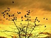 winter sky pigeons (moonjazz) Tags: birds winter sky gold pigeons flock nature contrast color photo photoshop patterns flight above canon moonjazz moody season