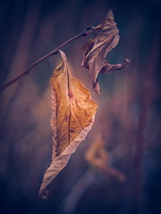 lost beauty II (koaxial) Tags: p1141319a1jpg koaxial fall winter 2017 leaf blatt laub reste remains