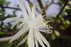 Night queen (Dagbertmh) Tags: flower flor nikon d5100 blossom night queen urbanfarm white organic pollen