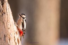 pic-épeiche (photopierrot44) Tags: oiseau passereau extérieur nikon nature sauvage picépeiche
