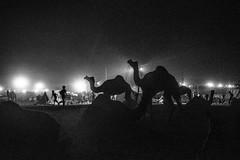 Noisy Night life   Pushkar camel fair,Rajasthan. (vjisin) Tags: pushkar rajasthan india iamnikon nikond3200 asia camel streetphotography street indianstreetphotography incredibleindia indianheritage travelphotography pushkarcamelfair herder inexplore outdoor animal travel nikon nikonofficial surreal silhouette ngc blackandwhite monochrome nightlife highiso noise grains