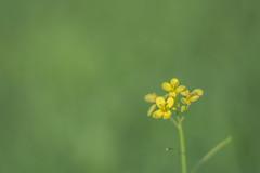 Minimalism (S♡C) Tags: weed flower plant yallow macro minimalism tiny green