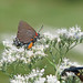 12 Days of Christmas Butterflies - #11 Great purple hairstreak