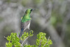 DSC_7243 (mylesm00re) Tags: m africa cinnyrischalybeus kleinrooibandsuikerbekkie nectariniidae sanparks southafrica southerndoublecollaredsunbird westcoastnationalpark westerncape bird birdwips