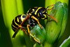 Wednesday Wasp (Astral Will) Tags: insect wasp macro paperwasp eye antennae segmented green alliteration