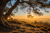 The Old Pine, Leith Hill (Michael Sowerby Photography) Tags: leith hill surrey hills north downs sunrise morning light golden tree roots branches view countryside outdoor fields early leaves landscape canon 5dmarkiii mist misty serene atmosphere magical bark 2470mm