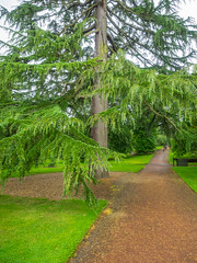 Himalayan cedar (melastmohican) Tags: conifer cedrus deodar nature old landscape needles beautiful peak national evergreen mountain garden coniferous plant himalayan cone tree pinecone forest pinaceae cones flora green park deodara cedar branch edinburgh scotland unitedkingdom gb
