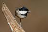 _F0A8805.jpg (Kico Lopez) Tags: carbonerogarrapinos galicia lugo miño parusater spain aves birds rio
