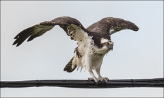 Osprey ( Pre-Flight ) (billkominsky ) Tags: naturethroughthelens