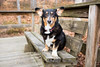 Koda Bear (Brian.Buckler) Tags: browncounty indiana nashville in kodabear corgi hiking adventure tricolor cute bench dogphotographer brianbuckler