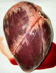 heart-sulcus (biologycorner) Tags: heart anatomy anatomical valves bicuspid mitral ventricle atrium aorta pulmonary