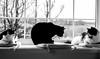 all three in the window monochrome (PDKImages) Tags: cat black ragdoll monochrome pet animal feline blackcat asleep eyes calming