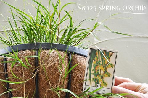 no.123springorchid