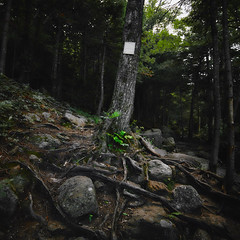 Tree of Life (Julian Dewert) Tags: tree woodland nature landscape magic color summer warm wild wilderness appalachiantrail hiking wood forest green america usa north massachusetts scenery backgrounds natural outdoor travel explore square high resolution roadtrip dark colour view