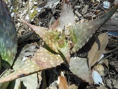 Aloe sp. Asphodelaceae Asphodeloideae-aloe a3
