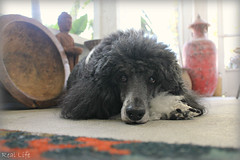 Tired of waiting 10/52 (SpooAddicts & the SpooCrew) Tags: kiera poodle standardpoodle partipoodle 52weeksfordogs